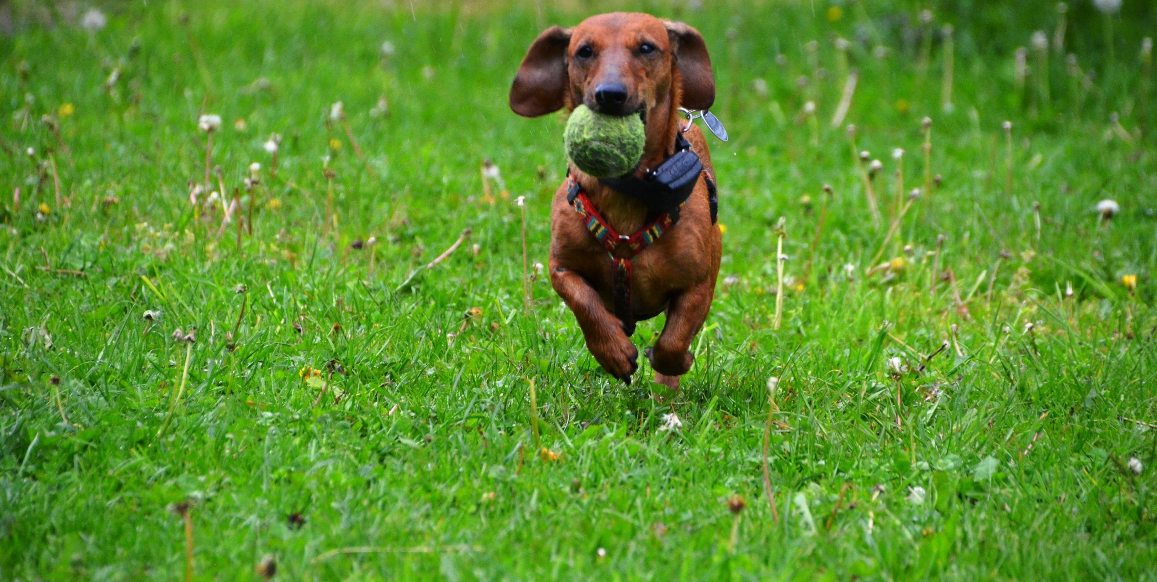 dachshund-361560-wide
